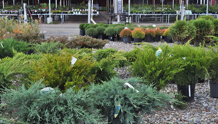 evergreens at garden center