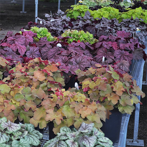 coralbells at garden center
