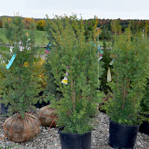 potted evergreens at garden center
