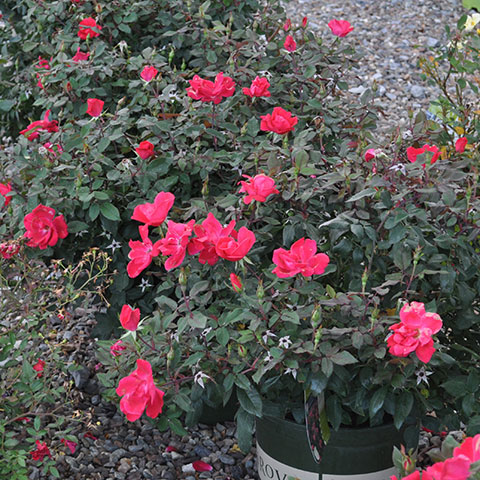potted roses at garden center