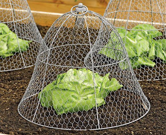 Chicken wire cloche protects vegetable crops