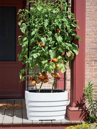 planter with tomatoes