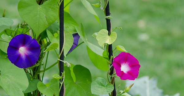Morning glories growing on a trellis