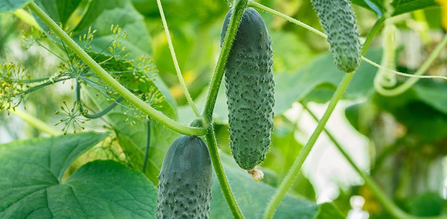 pickling cucumbers on plant