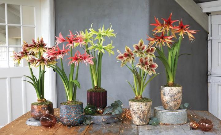 Amaryllis: How to Grow Amaryllis Bulbs