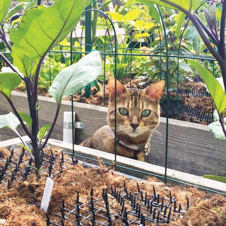 cat scat mat keeps this cat out of the raised garden beds