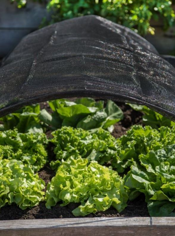 shade netting protecting heads of lettuce growing in a raised bed