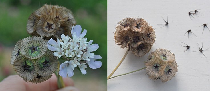 Scabiosa flower and seed pod