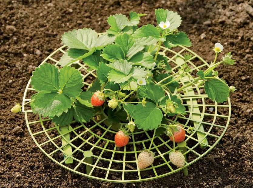 round green plastic grid under a strawberry plant