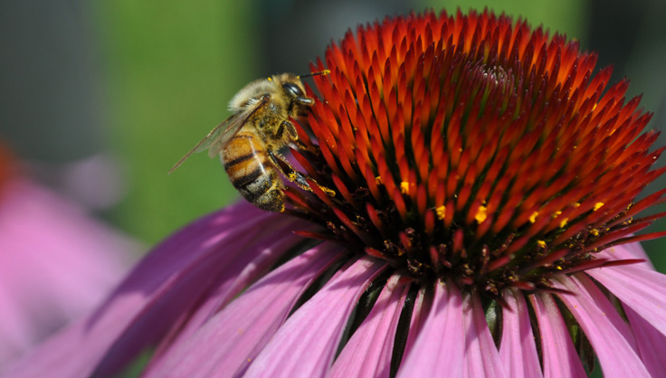 Honeybee on Echinacea Flower
