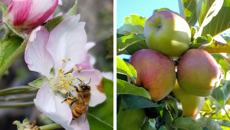bee on apple flower and apple fruit