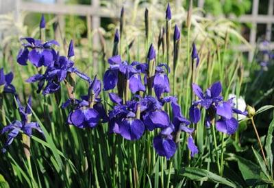 How to Grow Irises | Gardener's Supply