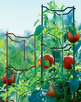 Tomatoes with Tomato Ladders