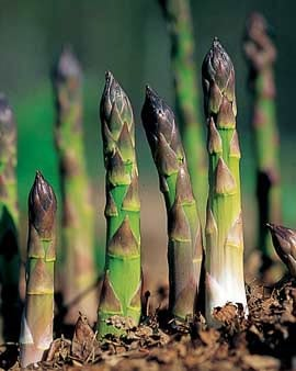 How To Grow Asparagus Planting Asparagus Gardener S Supply