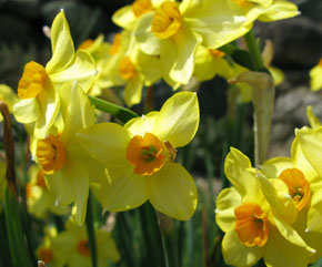 naturalized clump of yellow daffodils