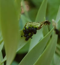 Lily leaf beetle larvae covered in a fecal shield