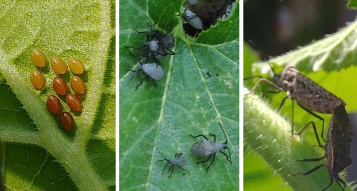 squash bug eggs, nymphs and adults