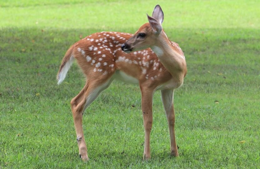 fawn on a lawn