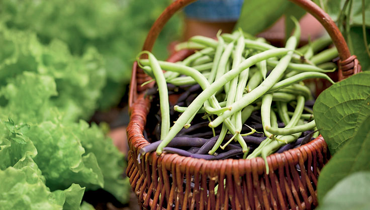 Growing Green Beans How To Grow Pole Beans Bush Beans