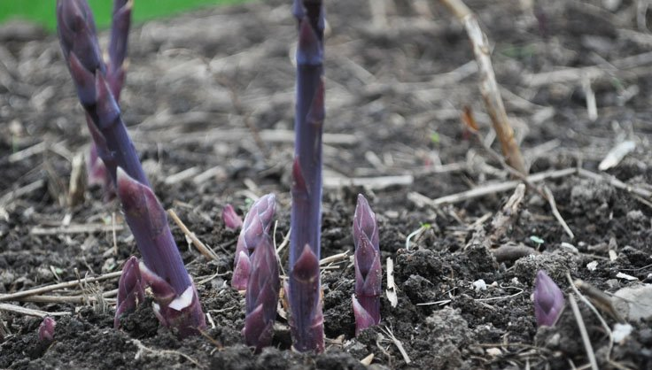 Asparagus growing in a raised bed