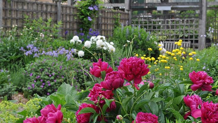 Peonies Peony Bush Peony Care Growing Peonies Gardener S Supply