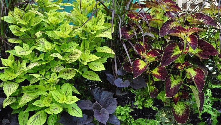 How to Grow Coleus - Growing Coleus | Gardener's Supply House Plants With Exposed Fur Html on ivory plant, feather plant, garden plant, white plant, honey plant, straw plant, food plant, silver plant, mushroom plant, japanese plant, hair plant, milk plant, shell plant, horn plant, dog plant, glass plant, italian plant,