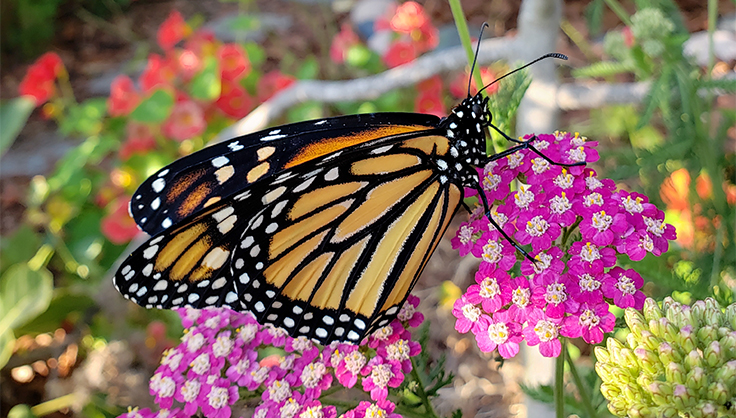 Monarch butterfly on yarrow